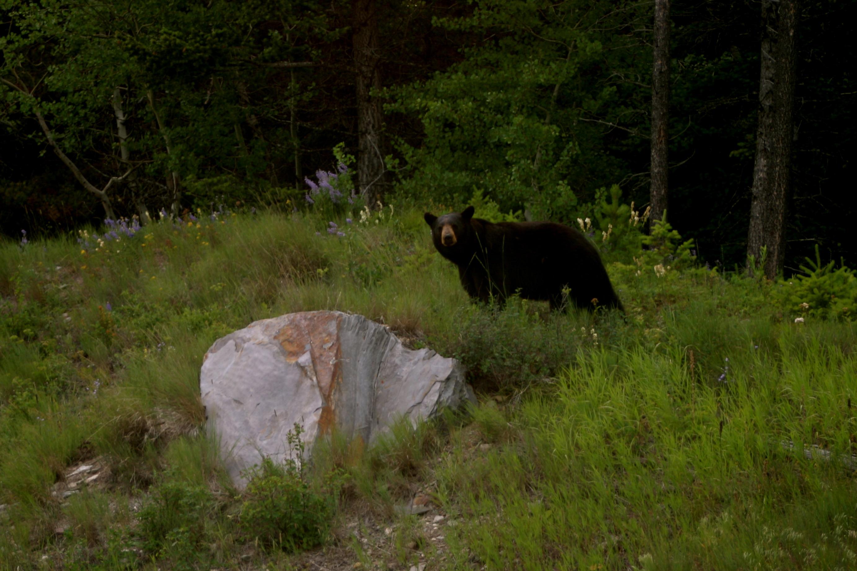 Black Bear in Glacier NP