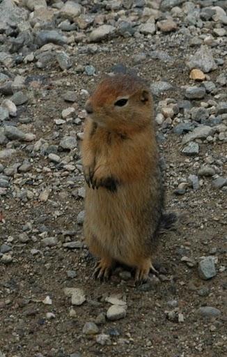 Denali National Park: Arctic Squirrel