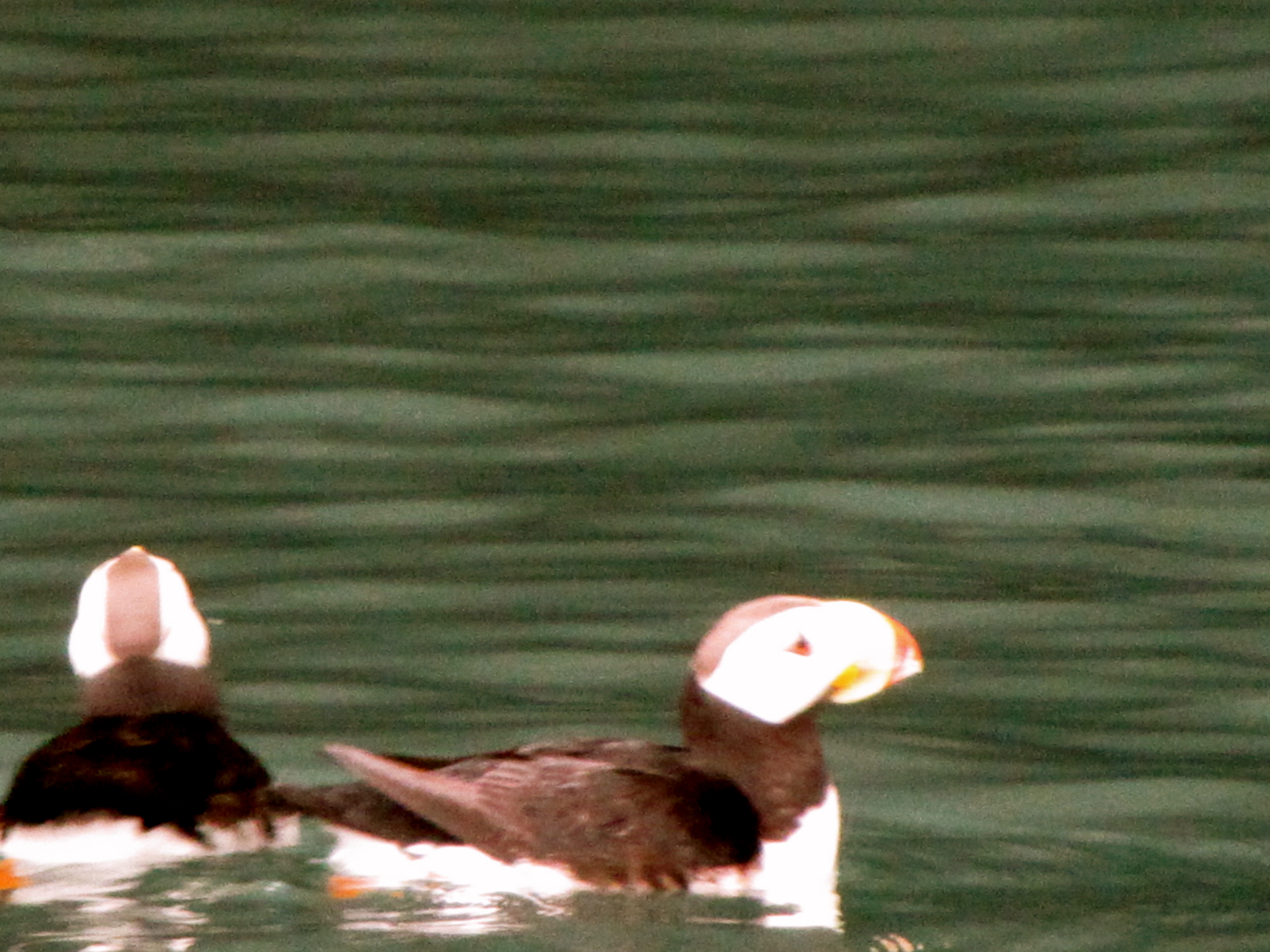 Horned Puffin- Kenai Fjords