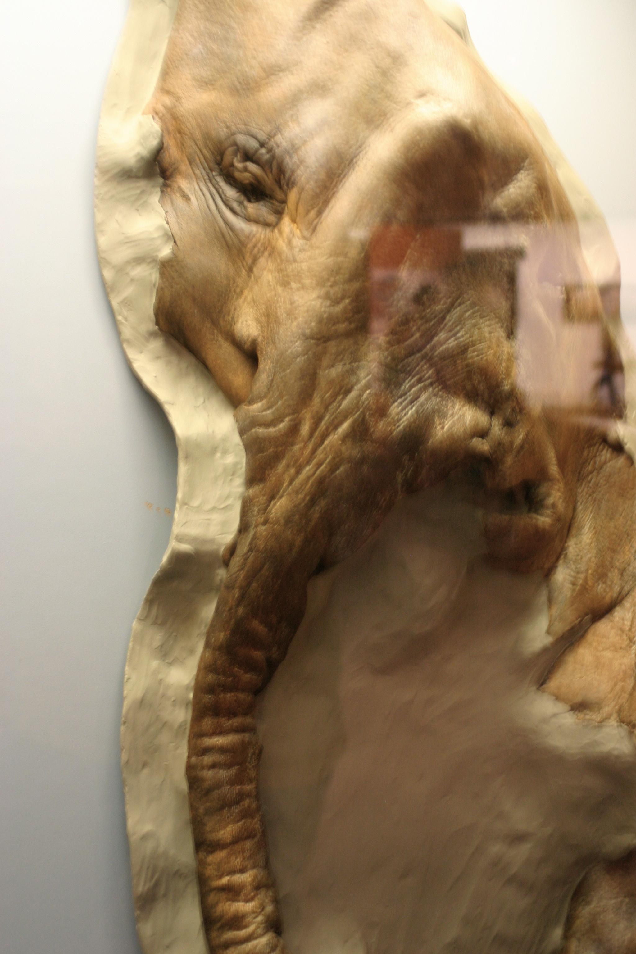 Mummified Baby Wooly Mammoth